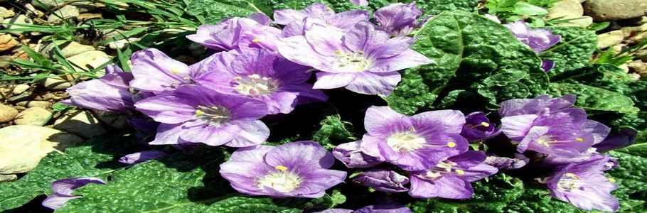 Мандрагора лекарственная - растение, с которым связано множество мифов и легенд