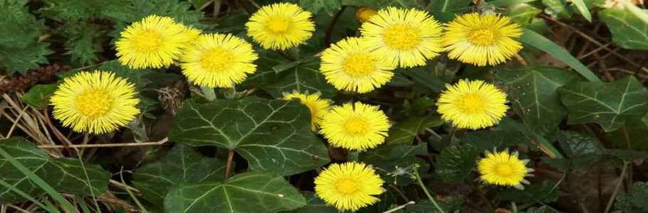 Мать-и-мачеха обыкновенная - одно из самых известных в России лекарственных растений