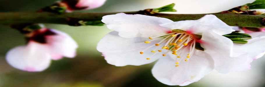 Цветущий миндаль обыкновенный