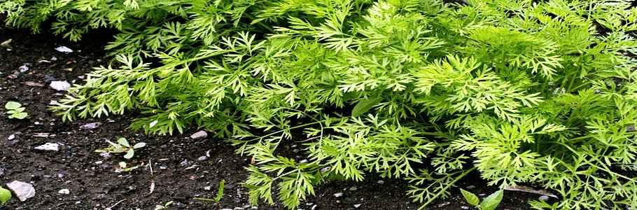 Всем хорошо известное растение, морковь посевная, обладает рядом уникальных фармакологических свойств