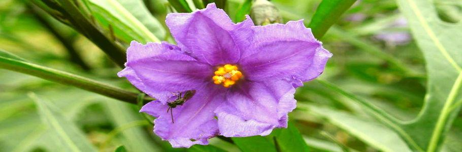 Цветок паслена дольчатого