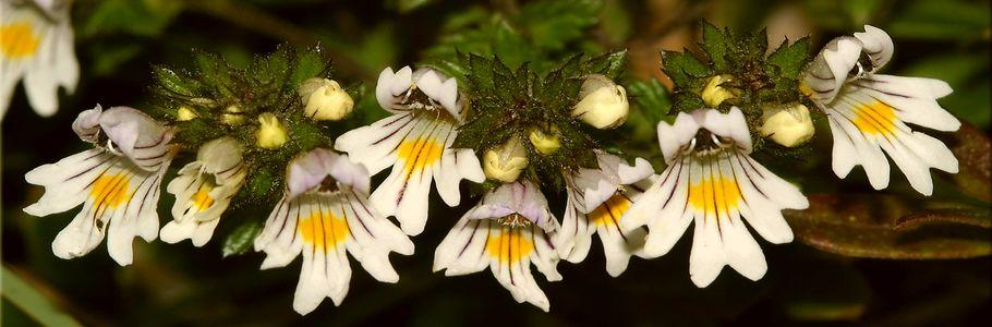 Очанка лекарственная - однолетнее травянистое растение семейства Заразиховые