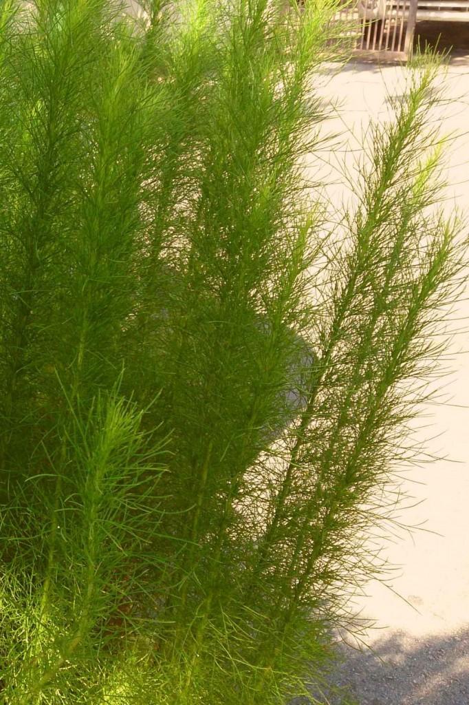 Лекарственное растение полынь метельчатая