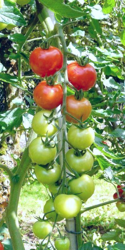 Фото помидора съедобного