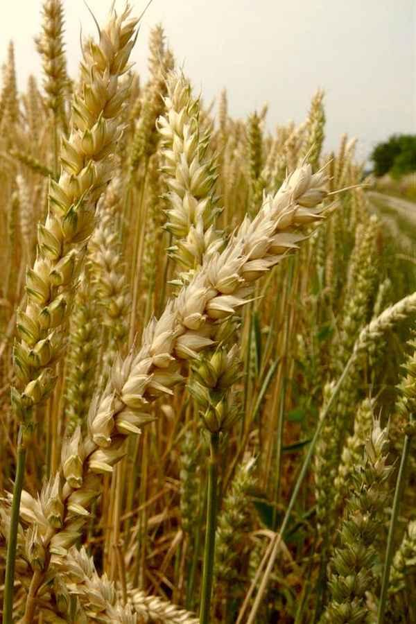 Пшеница обыкновенная - древнее культурное растение, обладающее полезными лечебными свойствами