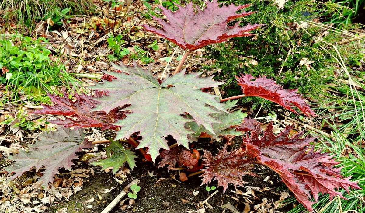 Ревень пальчатый (Rheum palmatum)