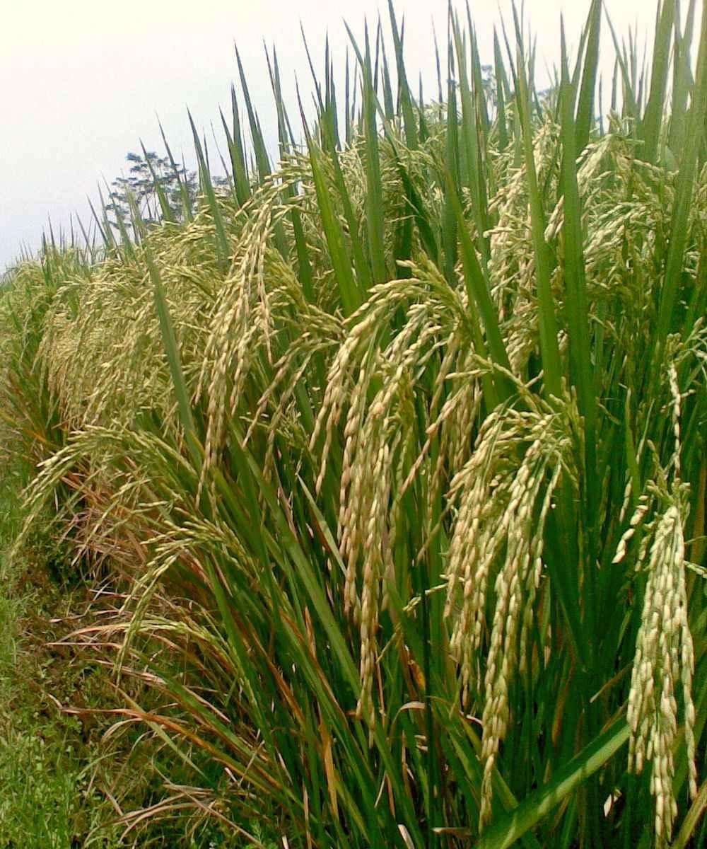 Рис посевной