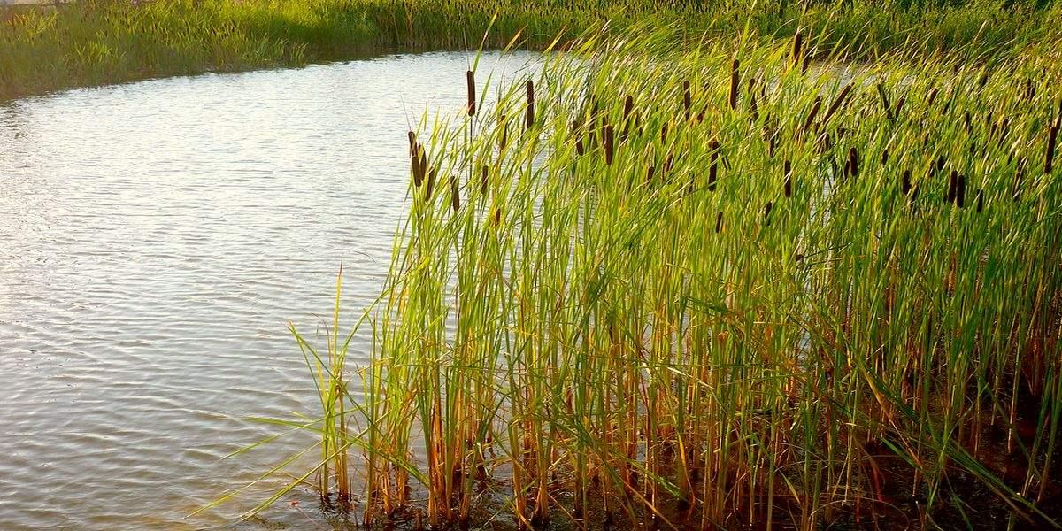 Рогоз узколистный - водное травянистое растение, обладающее радом важных лекарственных свойств