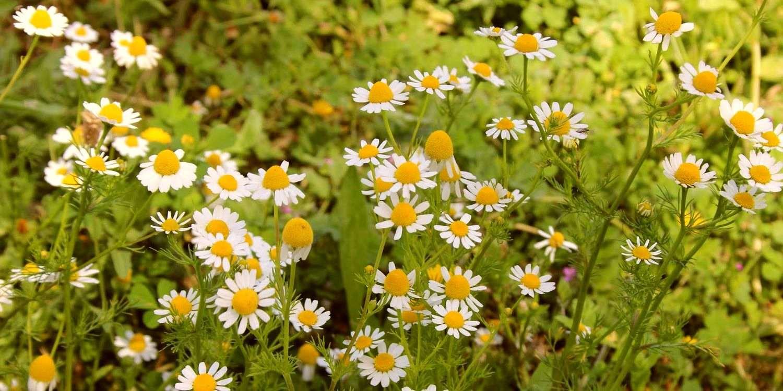 Ромашка аптечная - одно из самых известных лекарственных растений в мире
