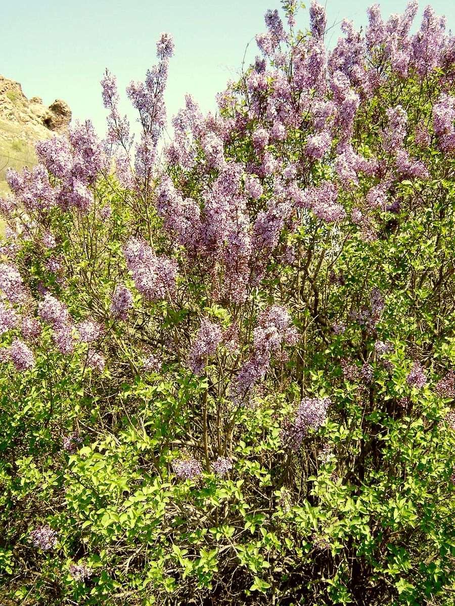 Сирень обыкновенная - кустарник, обладающий множеством полезных свойств
