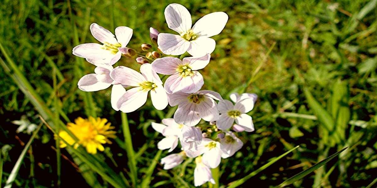 Сердечник луговой - лекарственное растение семейства Крестоцветные