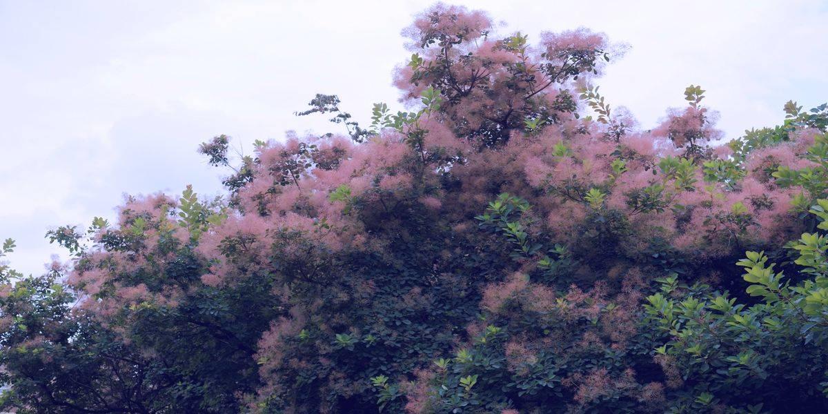 Скумпия кожевенная (желтуница) - кустарниковое растение, обладающее ценными лечебными свойствами