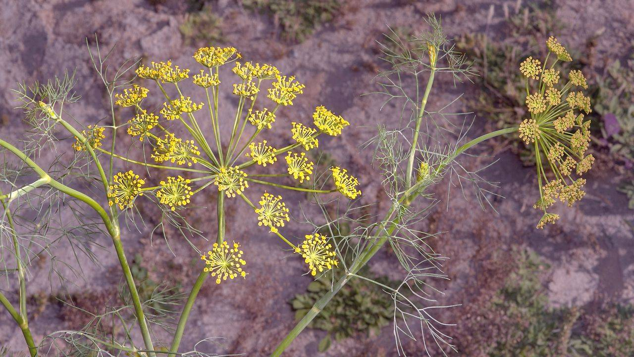 Укроп пахучий - ароматическое растение, используемое в медицине